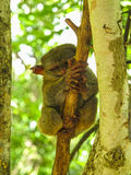 Tarsier in Bohol Island, Philippines. A tarsier in a reserve in Bohol Island, Philippines Royalty Free Stock Photography