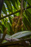 Tarsier in Bohol, Philippinen Lizenzfreies Stockfoto