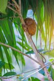 Tarsier Bohol, Philippines, closeup portrait, sits on a tree in the jungle. Stock Image