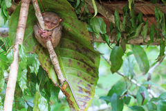 Tarsier in Cebu, Philippines- Tarsius Syrichta.  royalty free stock photo
