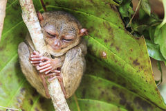 Tarsier in Cebu, Philippines- Tarsius Syrichta.  stock photos