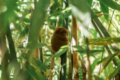 Tarsier dans le sanctuaire de Bohol Tarsier, Cebu, Philippines Le plus petit syrichta de Carlito de primat en nature image stock