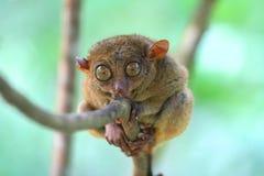 Tarsier, das auf einem Baum sitzt lizenzfreies stockfoto