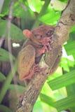 Tarsier, de kleinste primaat van de wereld op een boom in Bohol, Filippijnen royalty-vrije stock fotografie