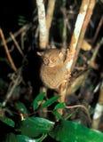 Tarsier: El mono más pequeño del mundo en Sabah en la isla de Borneo foto de archivo