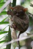 Tarsier en un árbol Foto de archivo libre de regalías