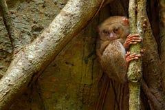 Tarsier espectral, espectro do Tarsius, retrato escondido do animal noturno raro, na grande árvore do ficus, parque nacional de T fotos de stock royalty free