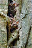 Tarsier Family On The Big Tree. Spectral Tarsier, Tarsius Spectrum, Hidden Portrait Of Rare Nocturnal Animal, In Large Ficus Royalty Free Stock Images