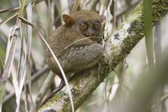 Tarsier in its natural environnement Royalty Free Stock Images
