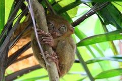Tarsier małpa na drzewie, Bohol wyspa, Filipiny Obraz Stock