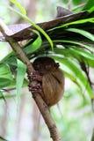 Tarsier małpa na drzewie, Bohol wyspa, Filipiny Zdjęcia Royalty Free