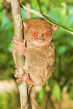 Tarsier monkey Royalty Free Stock Images