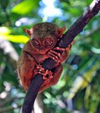Tarsier Monkey Royalty Free Stock Photo