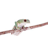 Tarsier Monkey Frog on white Royalty Free Stock Photo