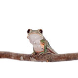 Tarsier Monkey Frog on white Stock Photography