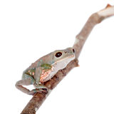 Tarsier Monkey Frog on white Royalty Free Stock Photos
