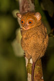 Tarsier occidental (bancanus de Cephalopachus) Images libres de droits
