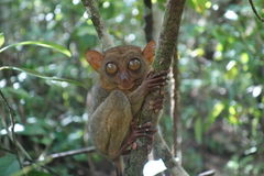 Tarsier. One of the attraction adorable animal with giant eyes in bohol philippines Royalty Free Stock Photography