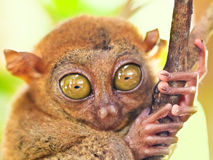 tarsier的phillipine 库存照片