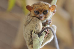 Tarsier Philippines Royalty Free Stock Images