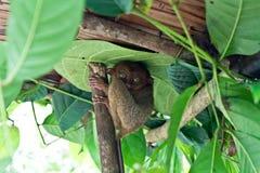 Tarsier primatphilippines bohol Royaltyfri Fotografi
