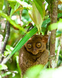 Tarsier in the rainforest. Tiny tarsier in a philippine reserve Royalty Free Stock Images