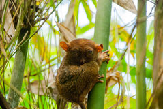 Tarsier sitting on a tree, Bohol island, Philippines, Asia Stock Photo