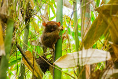 Tarsier sitting on a tree, Bohol island, Philippines, Asia Royalty Free Stock Photo