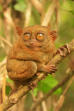 Tarsier sitting on a tree, Bohol island, Philippines Royalty Free Stock Images