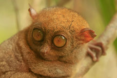 Tarsier sitting on a tree, Bohol island, Philippines Royalty Free Stock Image