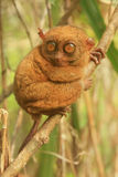 Tarsier sitting on a tree, Bohol island, Philippines Stock Photos