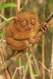 Tarsier sitting on a tree, Bohol island, Philippines Royalty Free Stock Photo