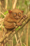 Tarsier sitting on a tree, Bohol island, Philippines Royalty Free Stock Photos