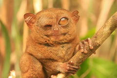 Tarsier sitting on a tree, Bohol island, Philippines Stock Images