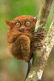Tarsier sitting on a tree, Bohol island, Philippines Stock Photography