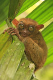 Tarsier sitting on a tree, Bohol island, Philippines Royalty Free Stock Photography