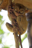 Tarsier Stock Photos