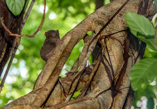 Tarsier spectral sur l'arbre en parc national de Tangkoko image stock