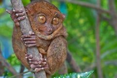 Tarsier on a tree Royalty Free Stock Image