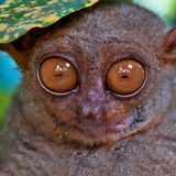 Tarsier under a leaf Royalty Free Stock Photo