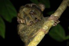 Tarsiermoeder en baby in het Nationale Park van Tangkoko, het Noorden Sulawesi, Indonesië Royalty-vrije Stock Fotografie