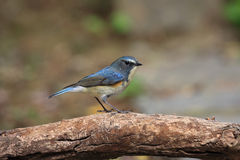Tarsiger cyanurus, Red-flanker Bluetail Stock Photos