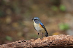 Tarsiger cyanurus, Red-flanker Bluetail Royalty Free Stock Photos