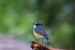 Tarsiger cyanurus, Red-flanker Bluetail Stock Photography