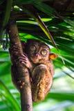 Tarsius Остров Bohol philippines стоковые изображения