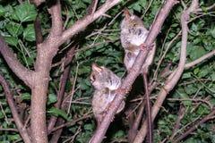 Tarsius Fotografie Stock