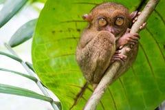 Tarsius. Bohol island. Philippines. Philippine tarsiers tarsier. very sweet and funny. Bohol island. Philippines Royalty Free Stock Photography