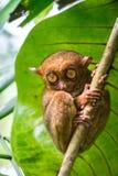 Tarsius. Bohol island. Philippines. Philippine tarsiers tarsier. very sweet and funny. Bohol island. Philippines Stock Photography