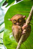 Tarsius Boholeiland filippijnen Stock Fotografie
