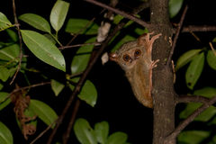 Tarsius indonesian endemic small nocturnal monkey. Tarsius small nocturnal monkey hanging on a tree in indonesia forest Royalty Free Stock Photography